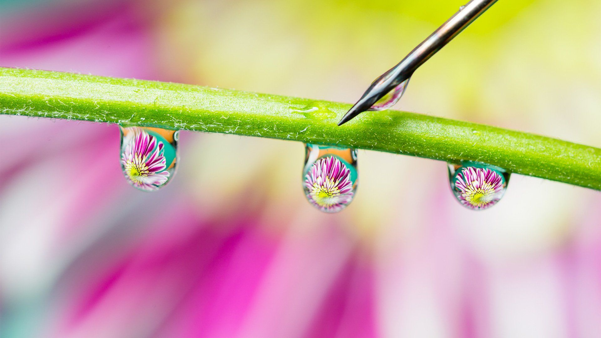 Three water droplets on a flower stem being placed by a needle.